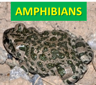 Amphibians of Afghanistan