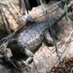 Lizard1cmp