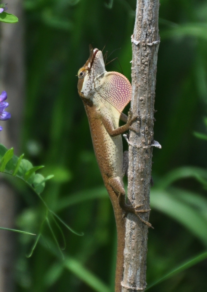 Green Anole with throat flap