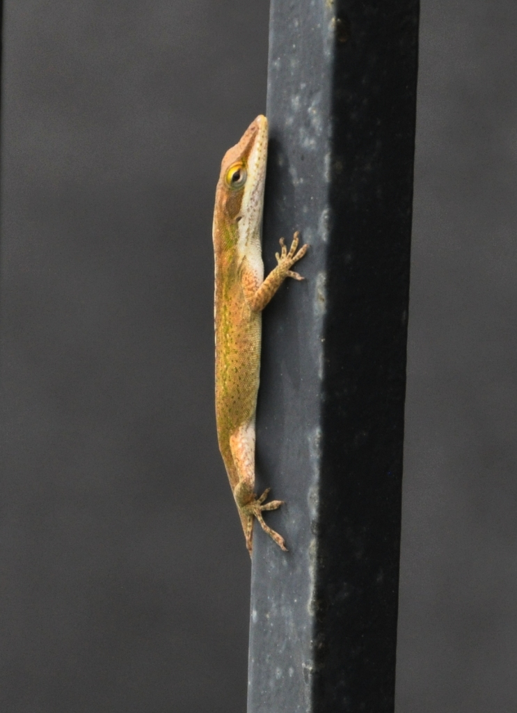 Green Anole; brown coloration