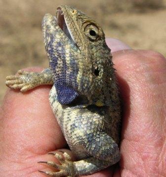 Purple Throat Agama
