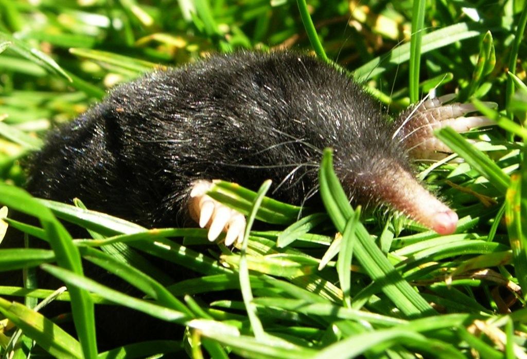 Shrew Mole