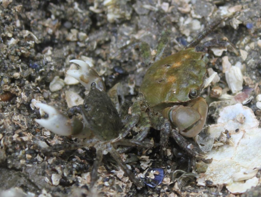 Hairy Shore Crabs
