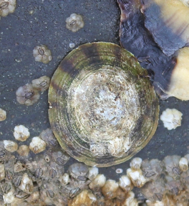 Plate Limpet