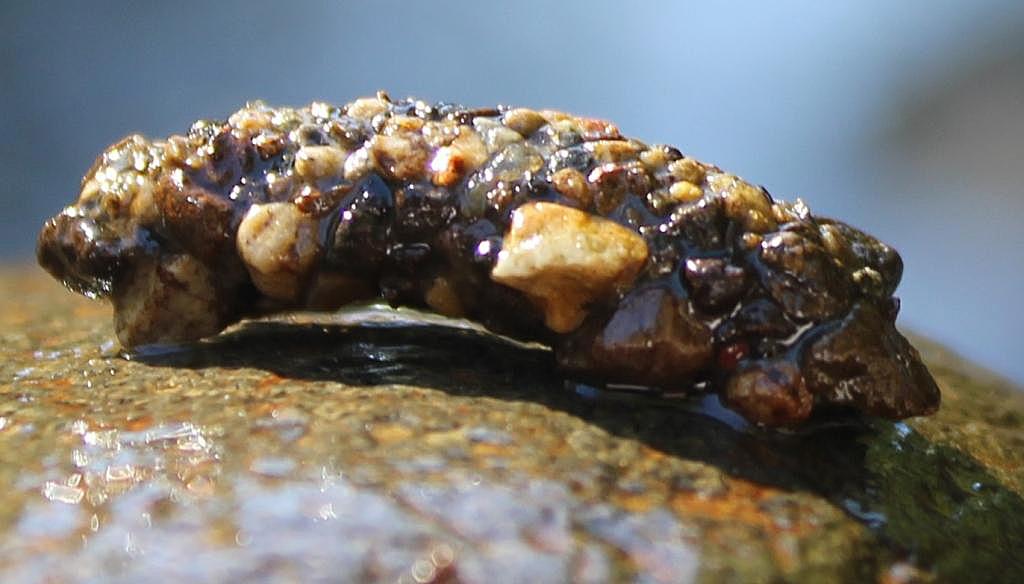 Caddis fly Larvae1