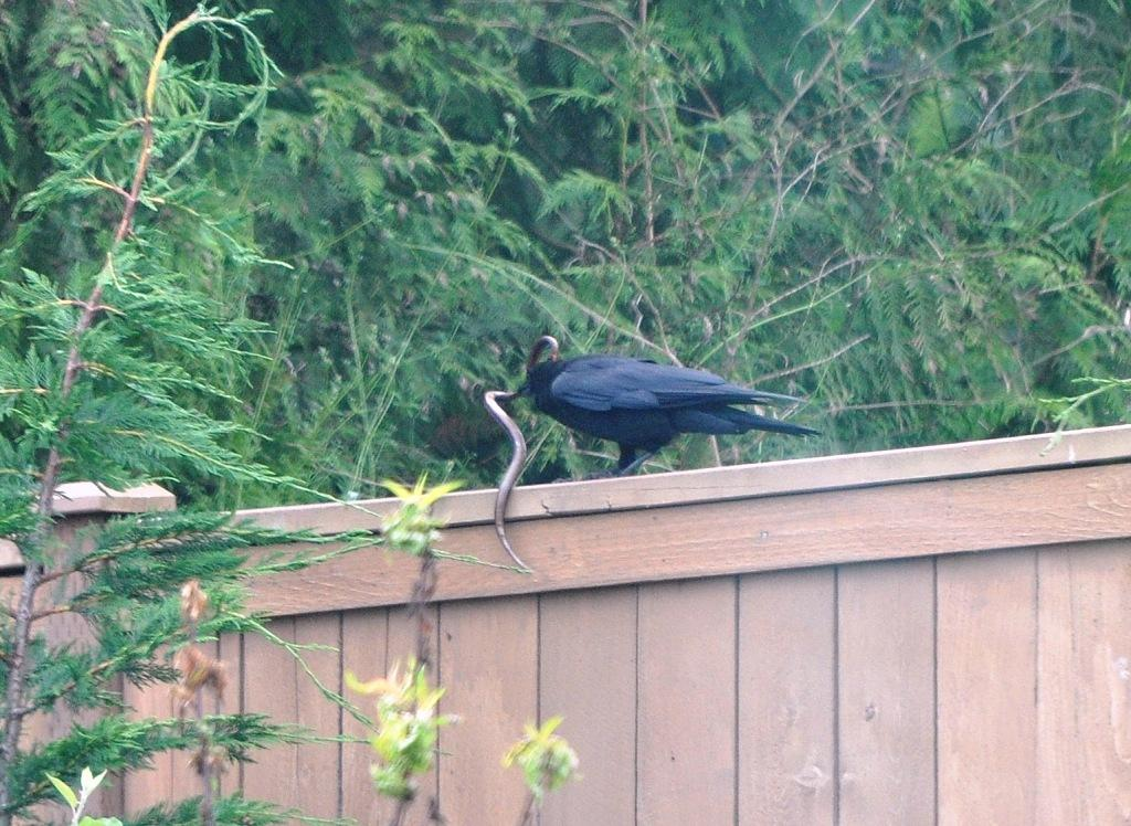 Crow catching snake