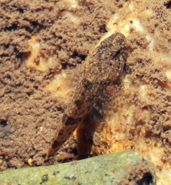 Freshwater Sculpin