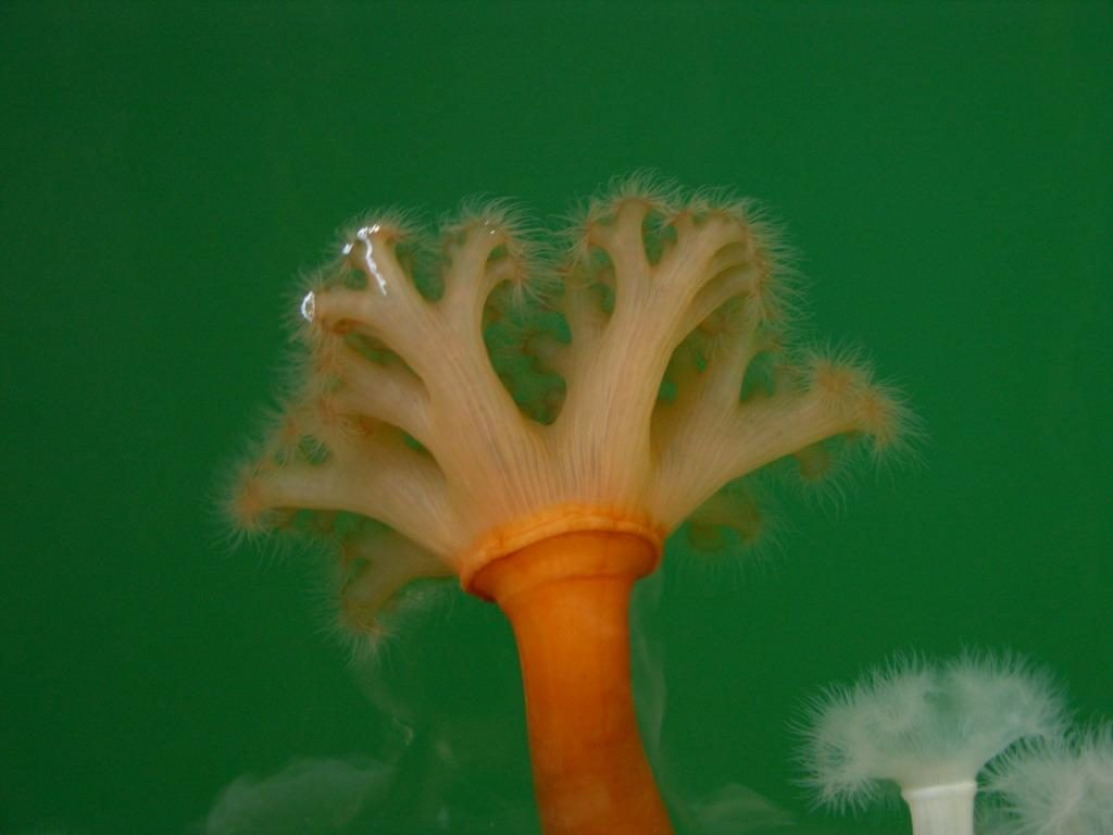 Frilled Anemone