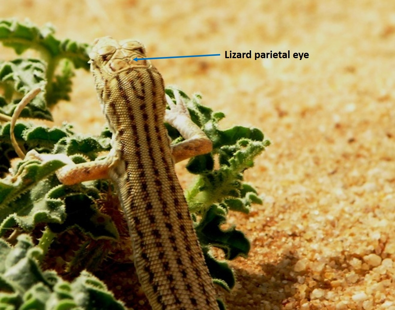 Parietal Eye - Saudi Lizard