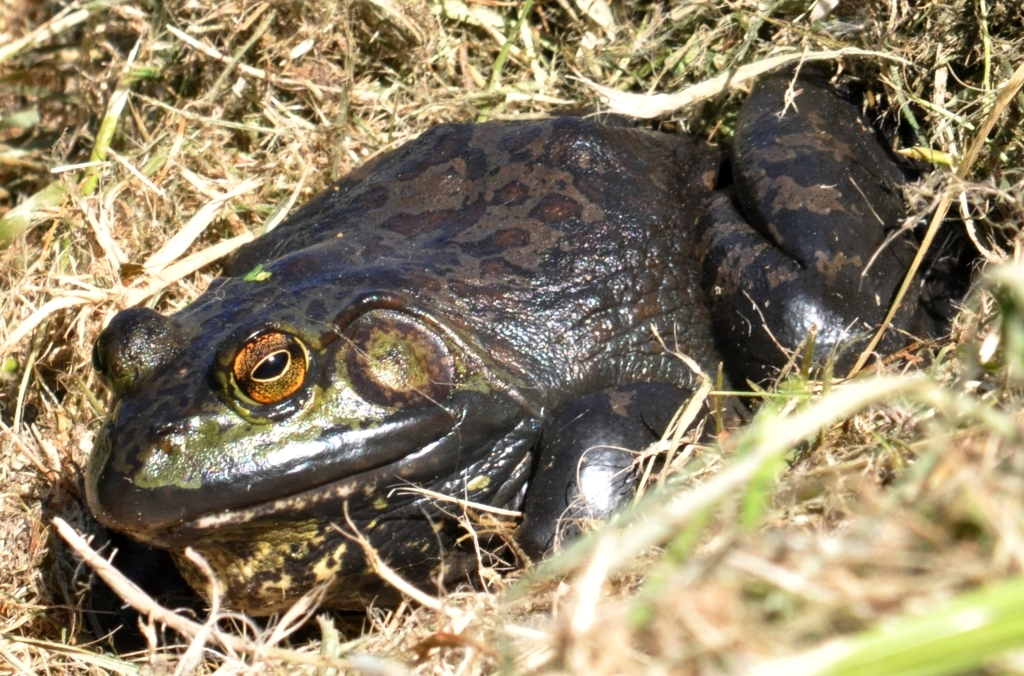 Bullfrog - dark variation with spots
