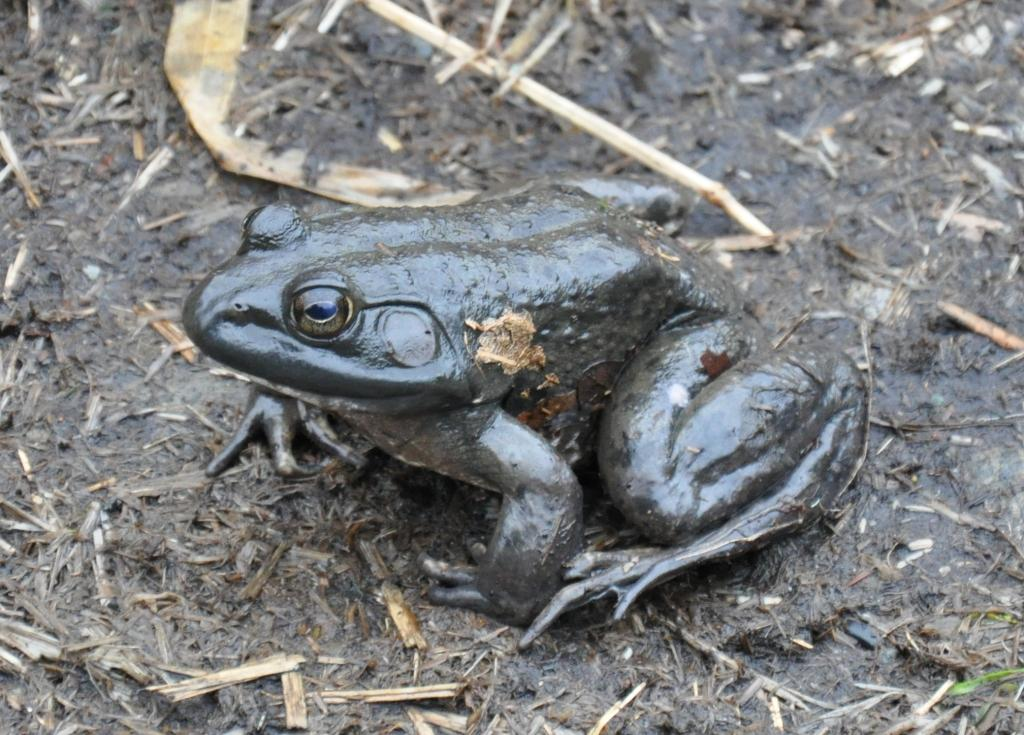 Bullfrog - black color variation