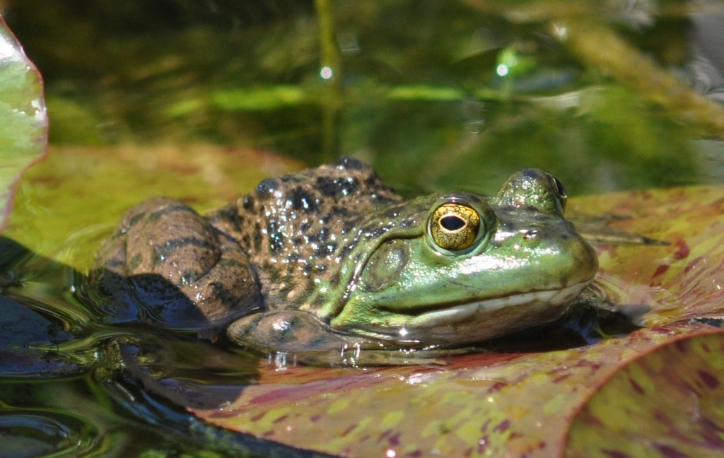 Bullfrog - green color variation