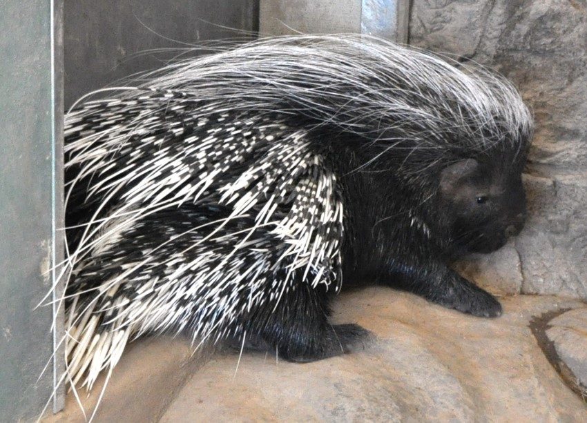 CRESTED PORCUPINE Hystrix indica