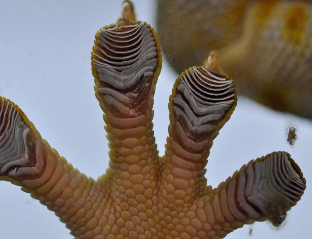 Crested Gecko Toes