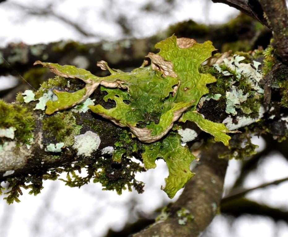 Lettuce Lichen