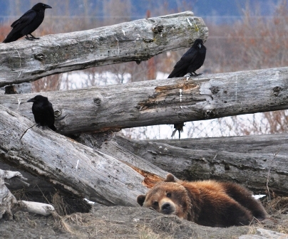 Ravens with brown bear