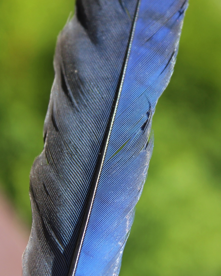 Stellar Jay feather