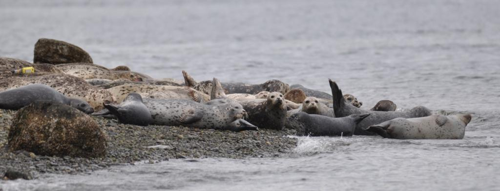 Harbor Seal Haul Out