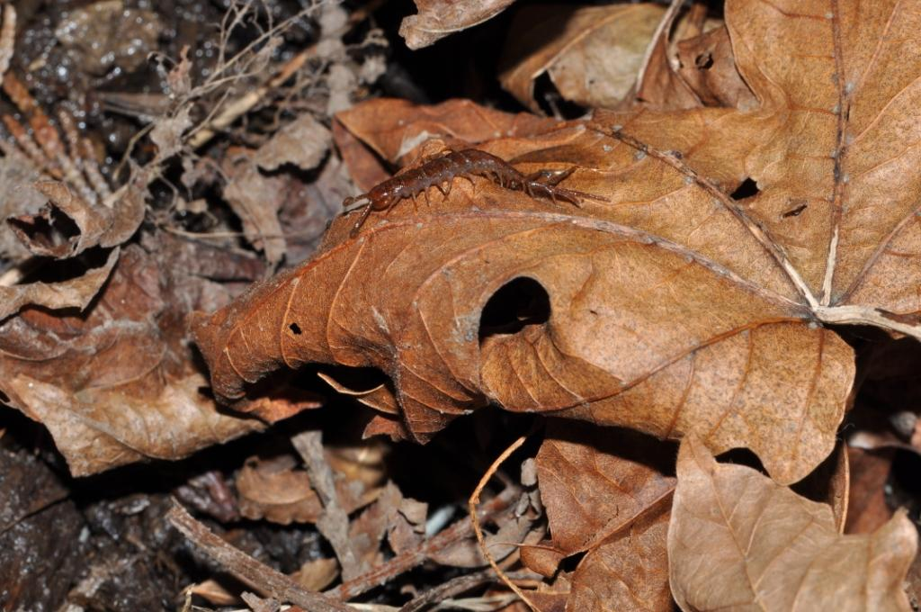 Garden Centipede1 Lithobius Forficatus