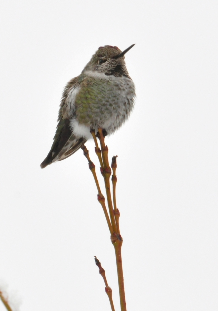 Anna's Hummingbird in Winter