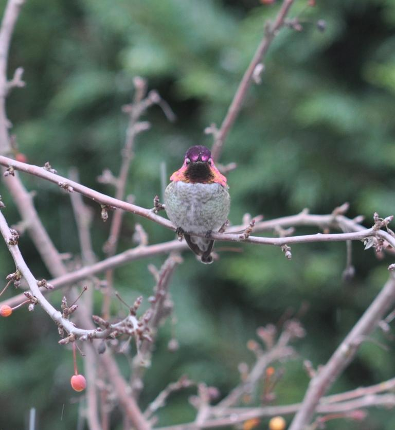 Anna's Hummingbird - male colors