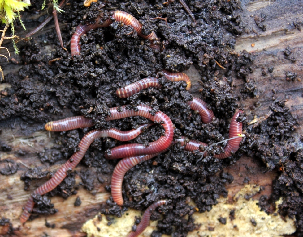 Tiger Worms