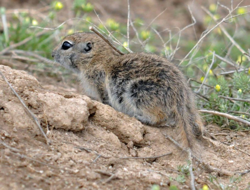 Townsend's Ground Squirrel