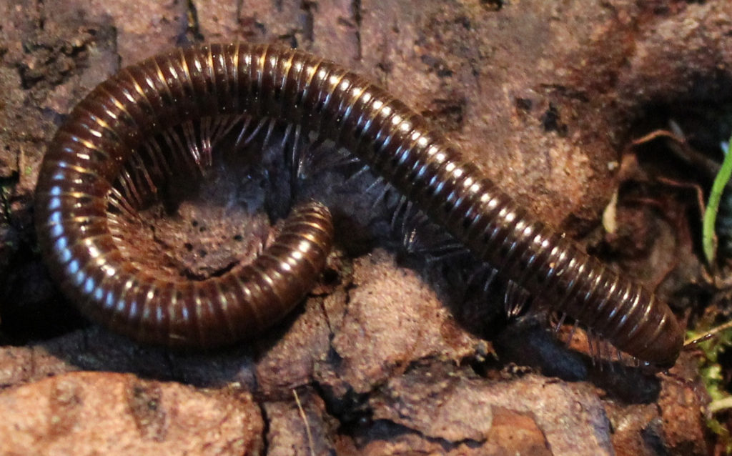 Oregon Millipede