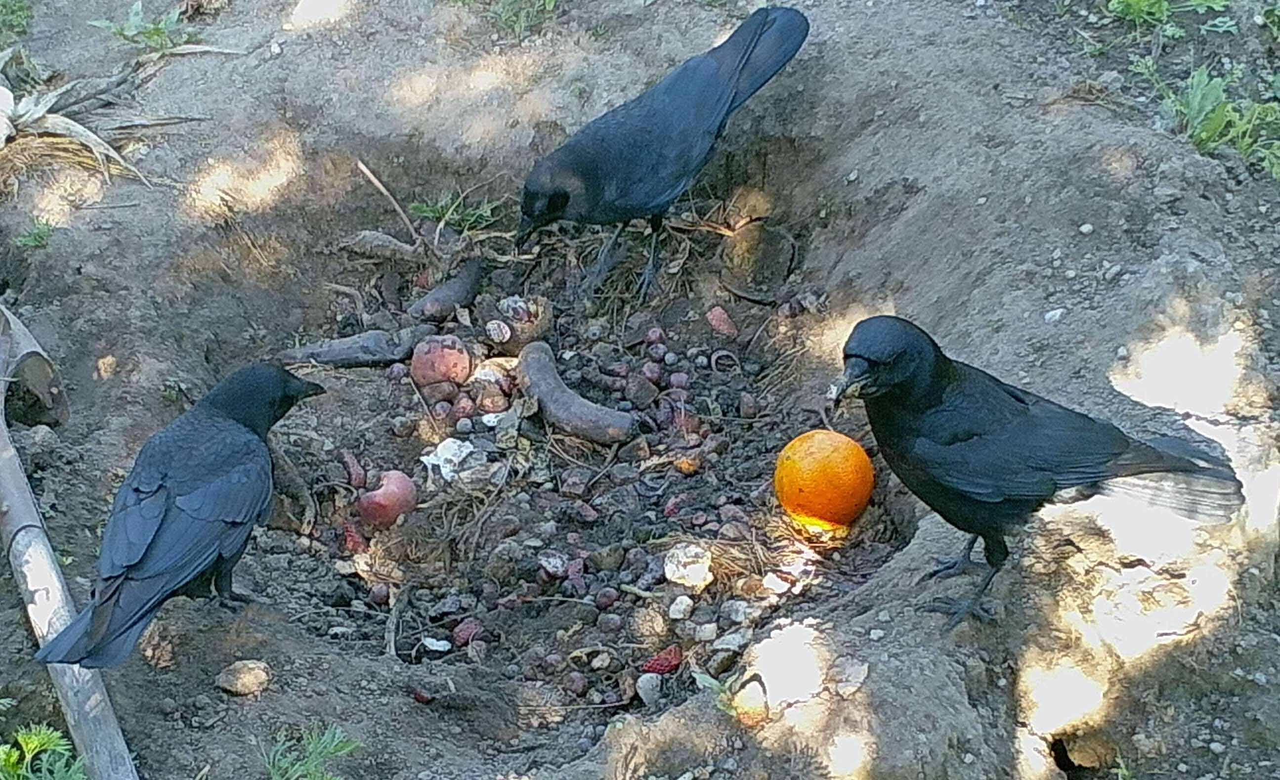 Crows Eating