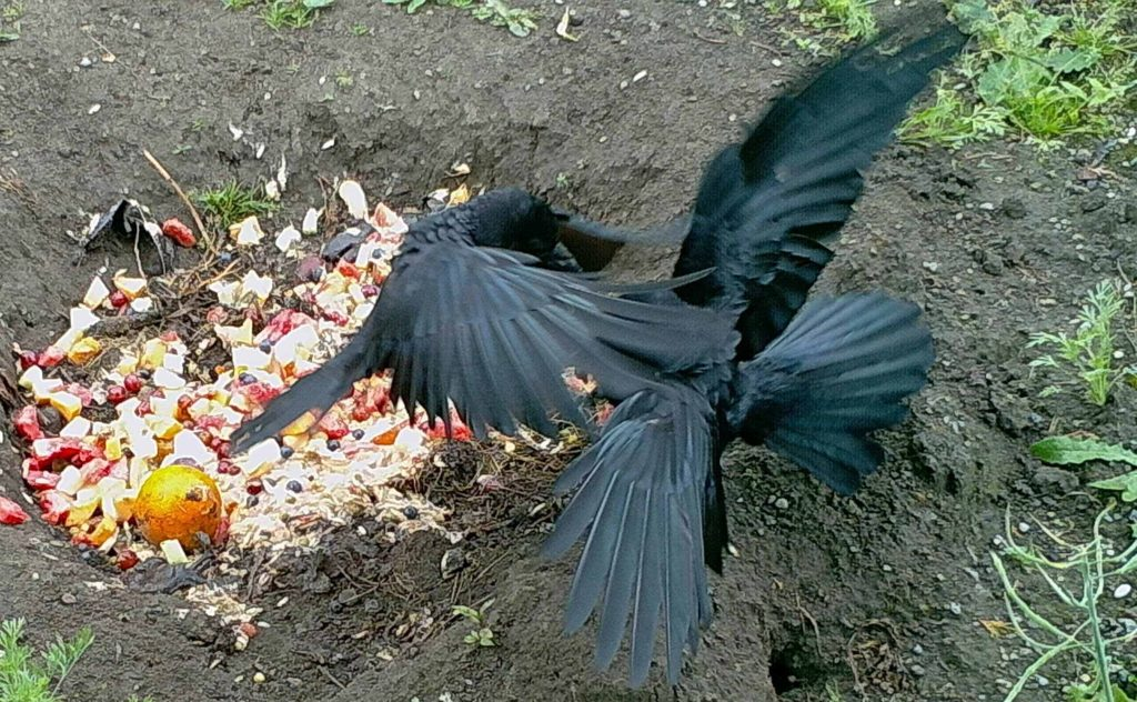 Crow Fight!