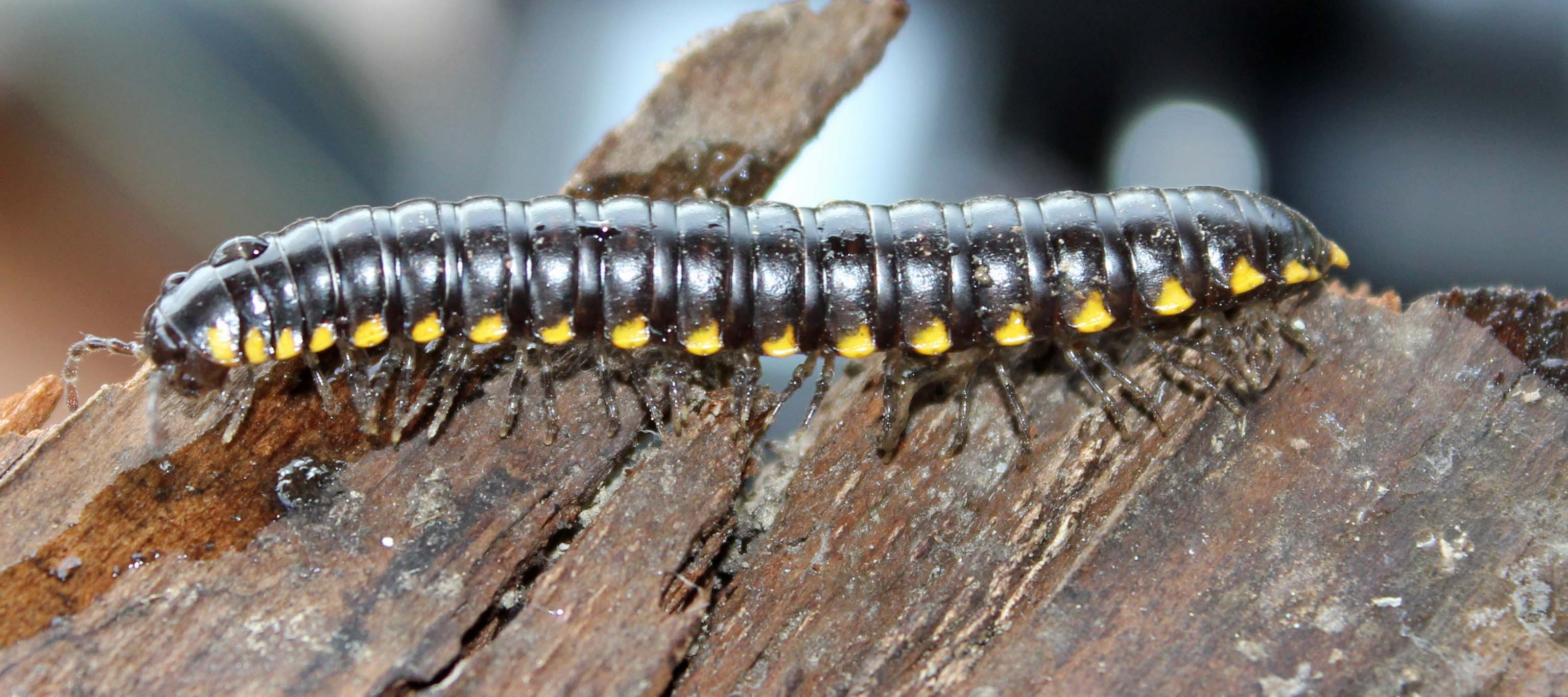 Yellow Spotted Millipede1