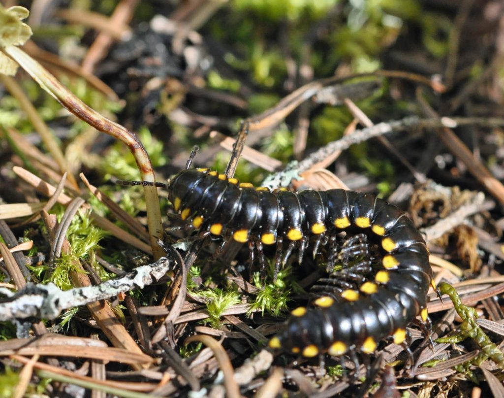 Yellow Spotted Millipede2
