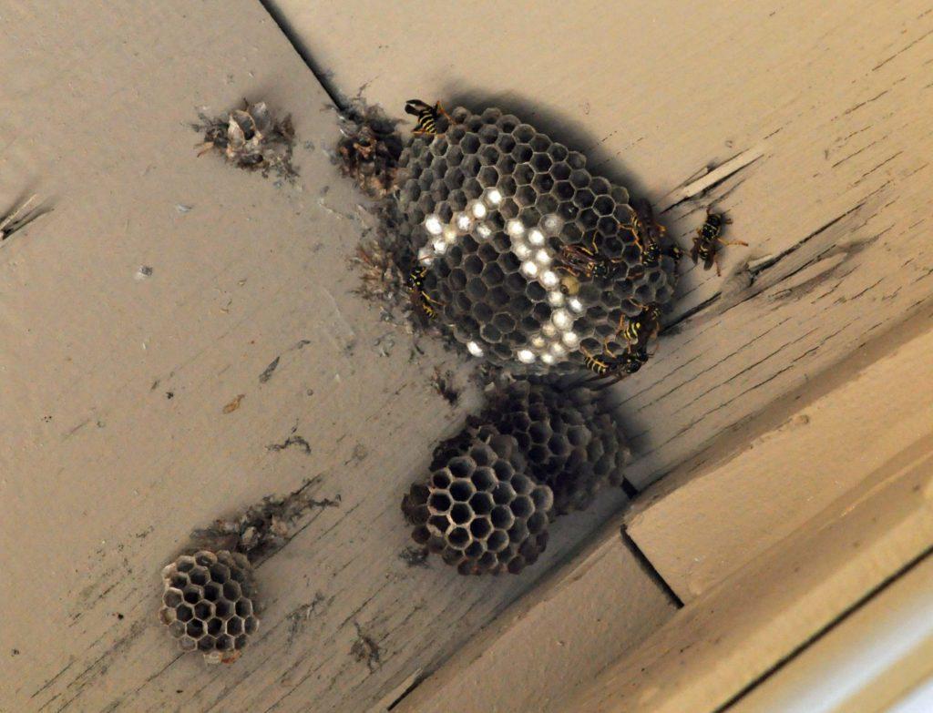 Paper Wasp, Polistes aruifer