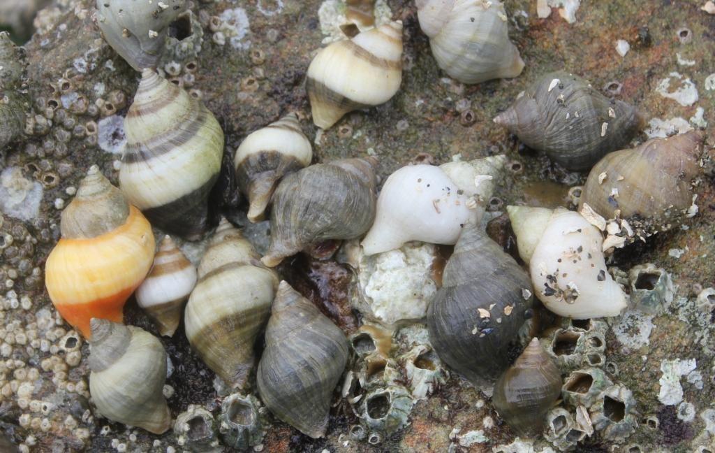 Dogwinkle Snails