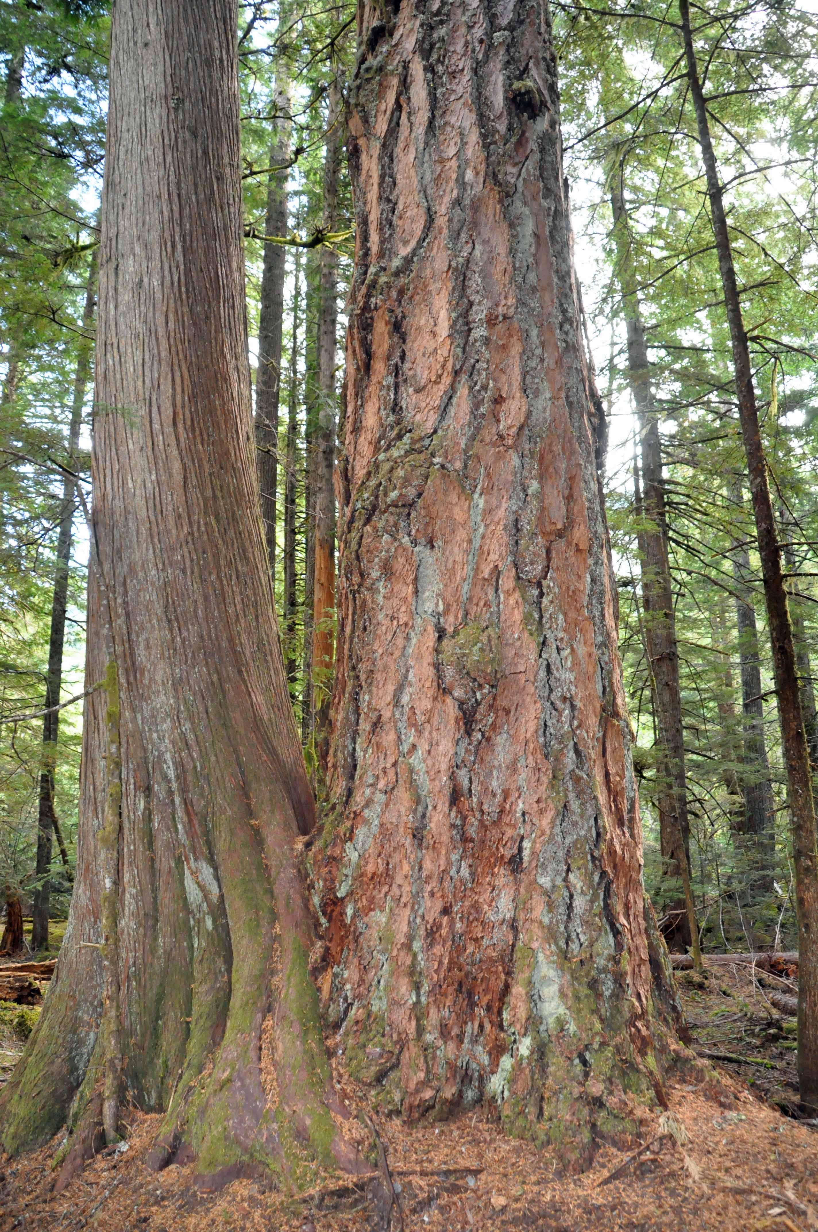 Douglas-fir Cedar Couple