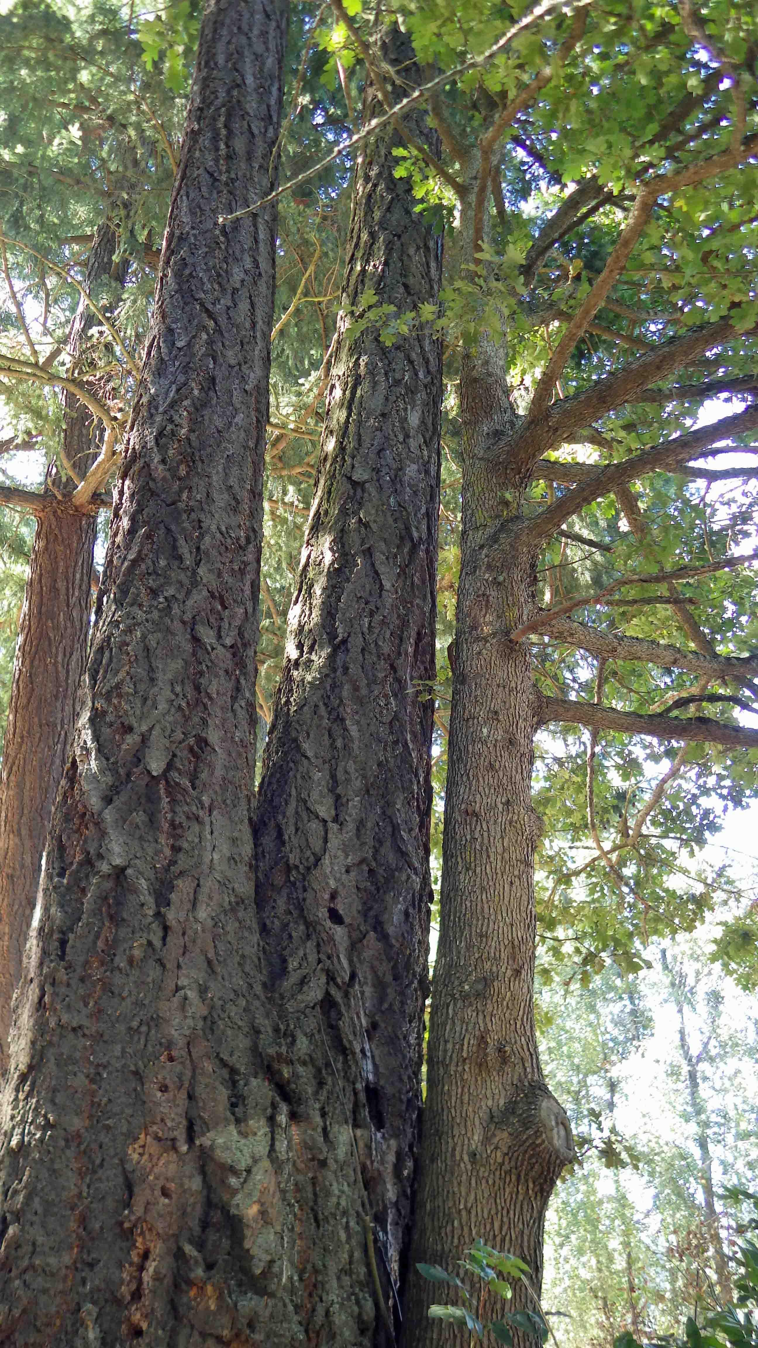 Douglas-fir Oak Couple