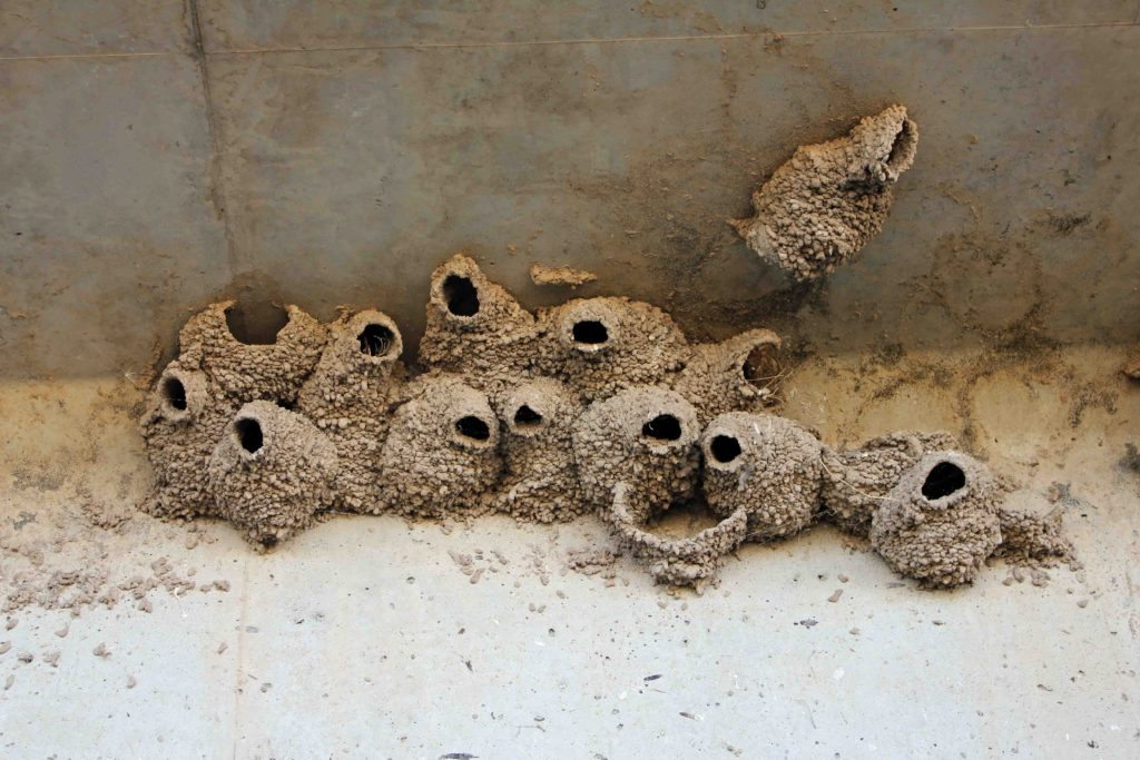 Barn Swallow Nests
