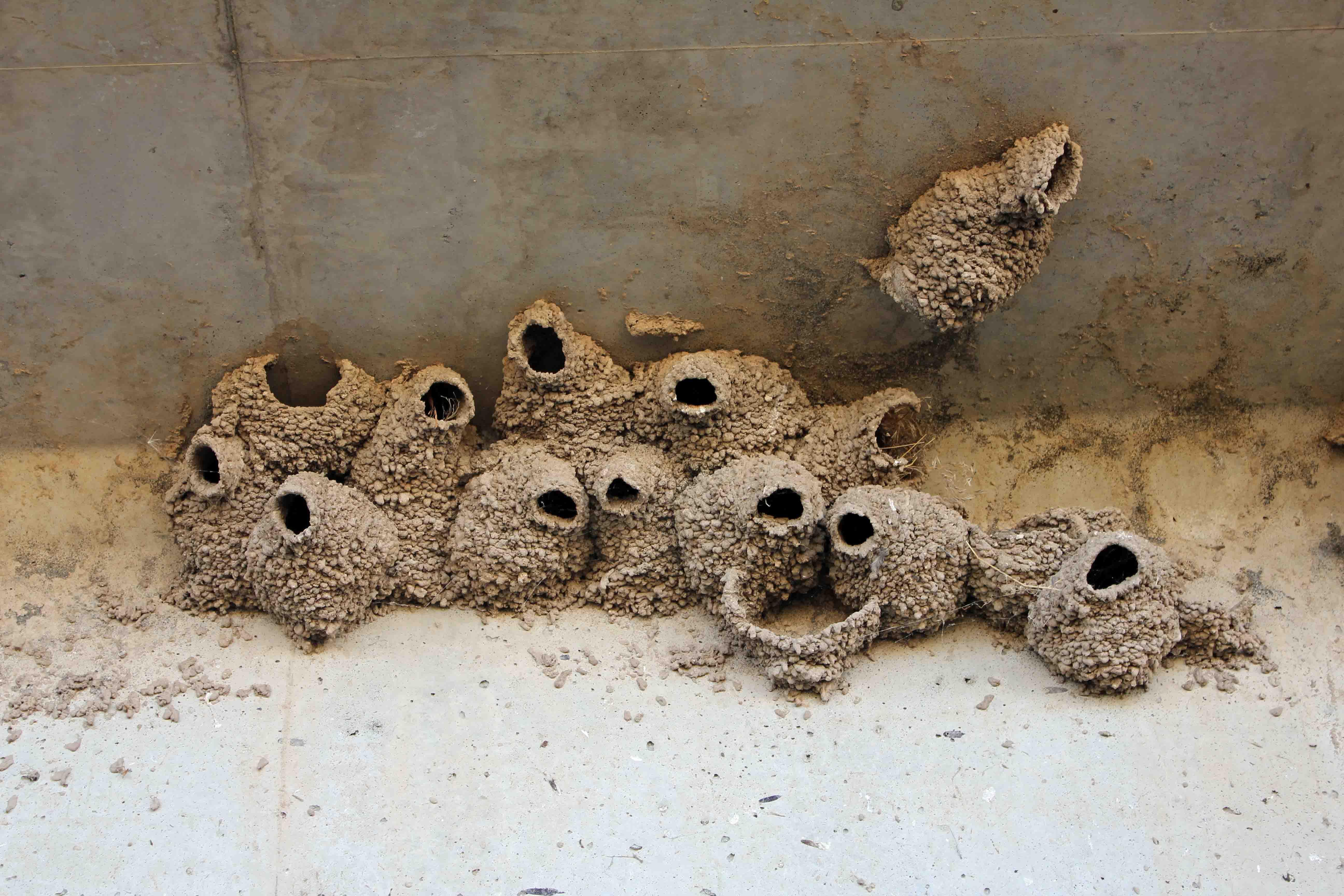 Mud Swallow « NORTHWEST WILDLIFE ONLINE