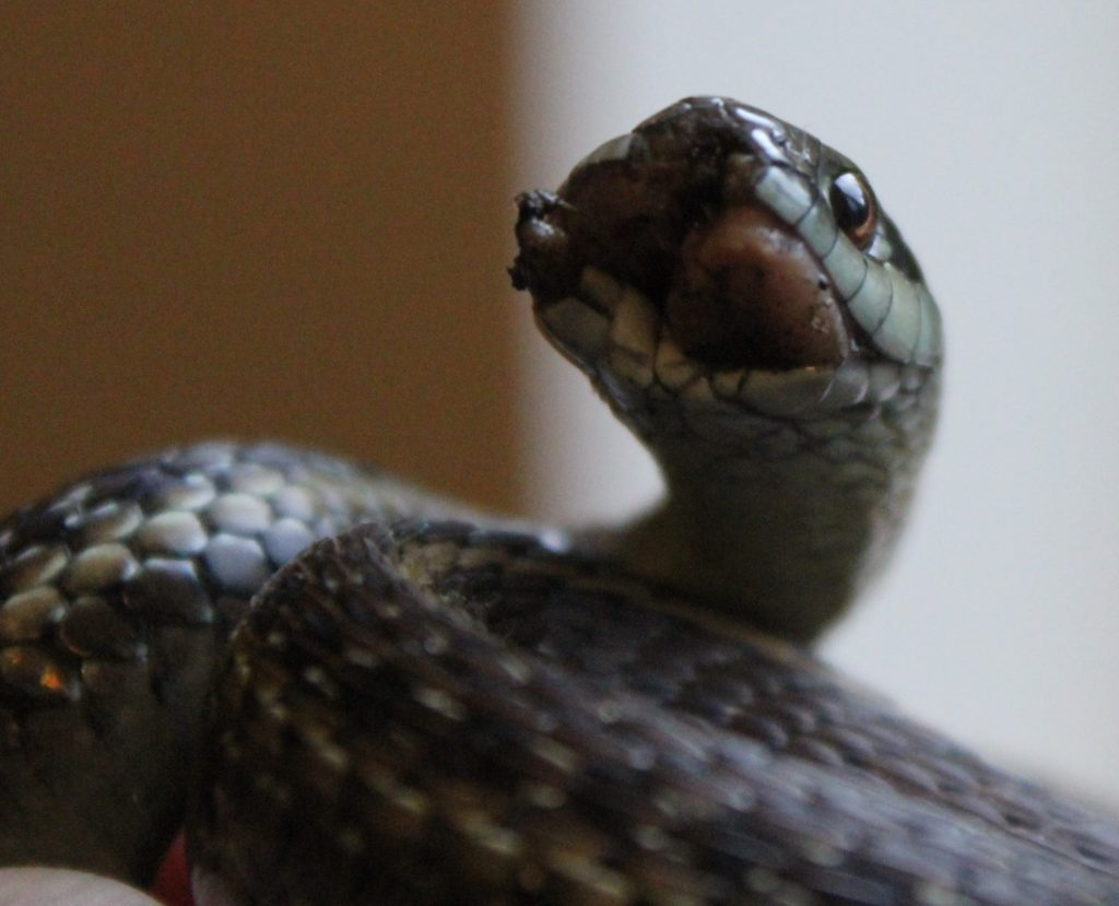 Wounded Garter Snake 3