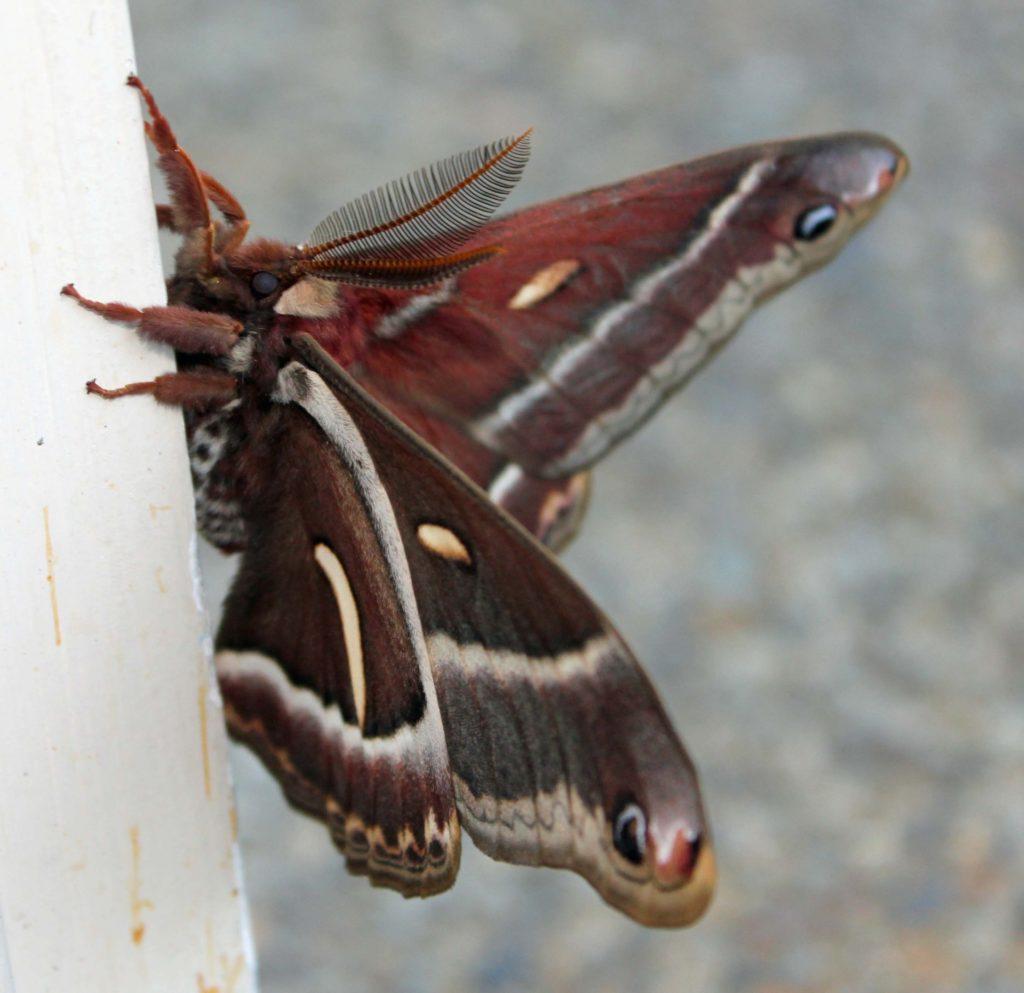 Cercopia Moth 1