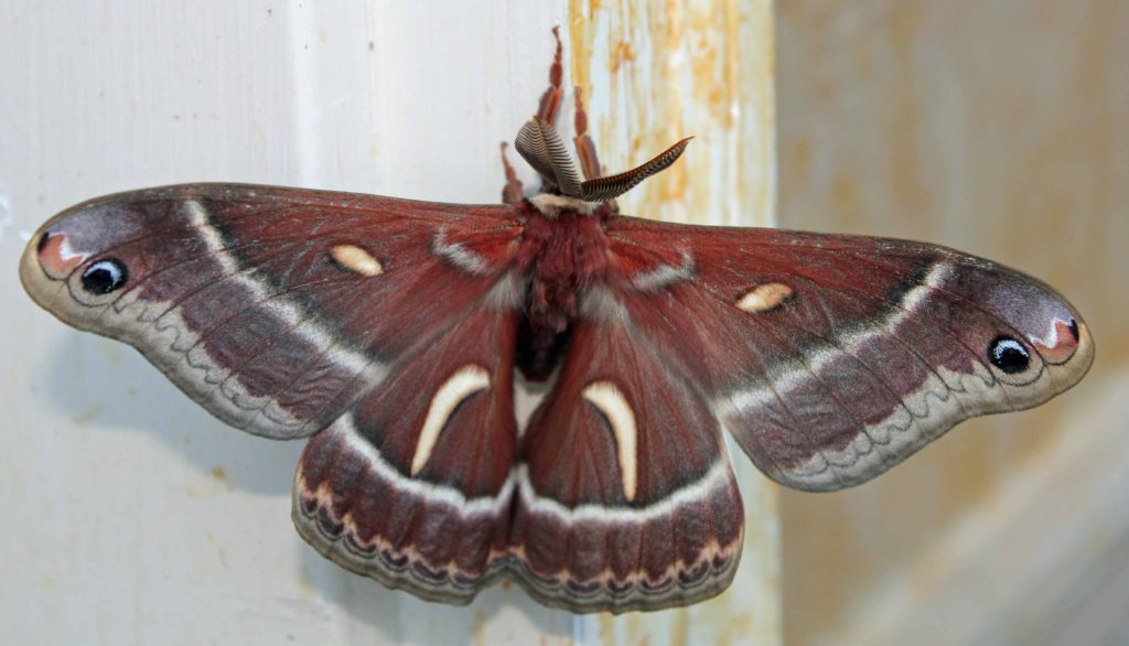 Cercopia Moth 2