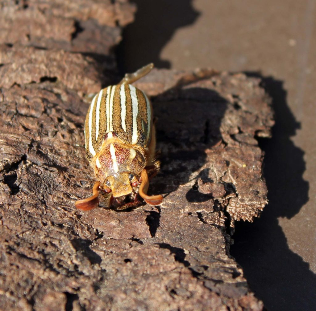 June Beetle2