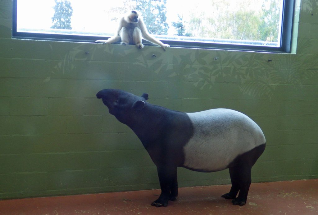 Gibbons and Tapirs