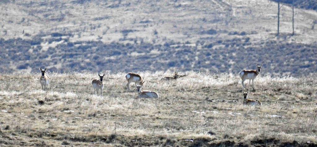 American Pronghorns