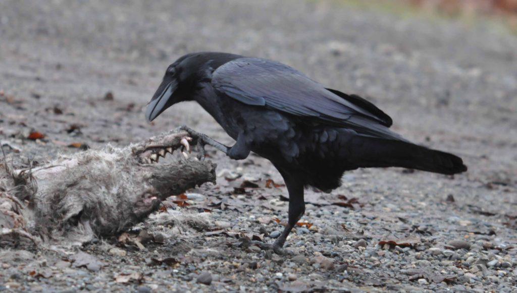 Raven vs Coyote