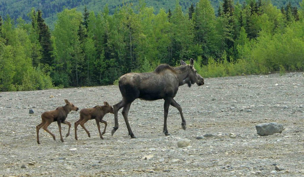 Momma Moose