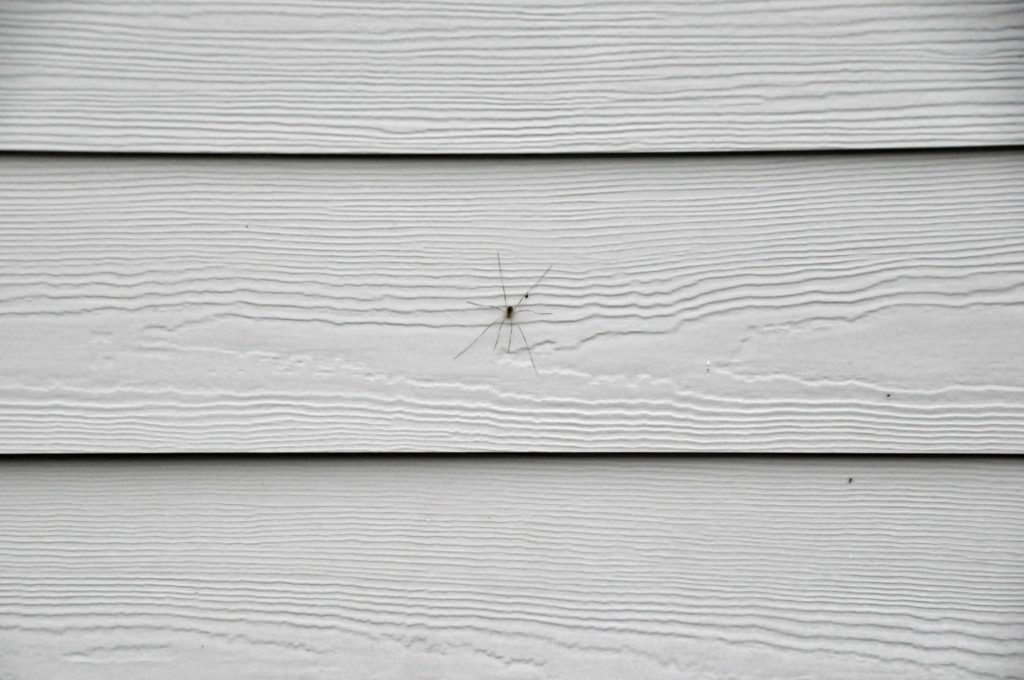 Long skinny spider?