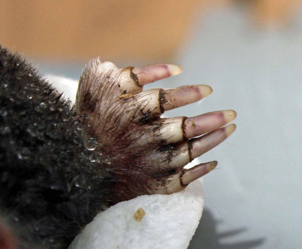 Mole Foot