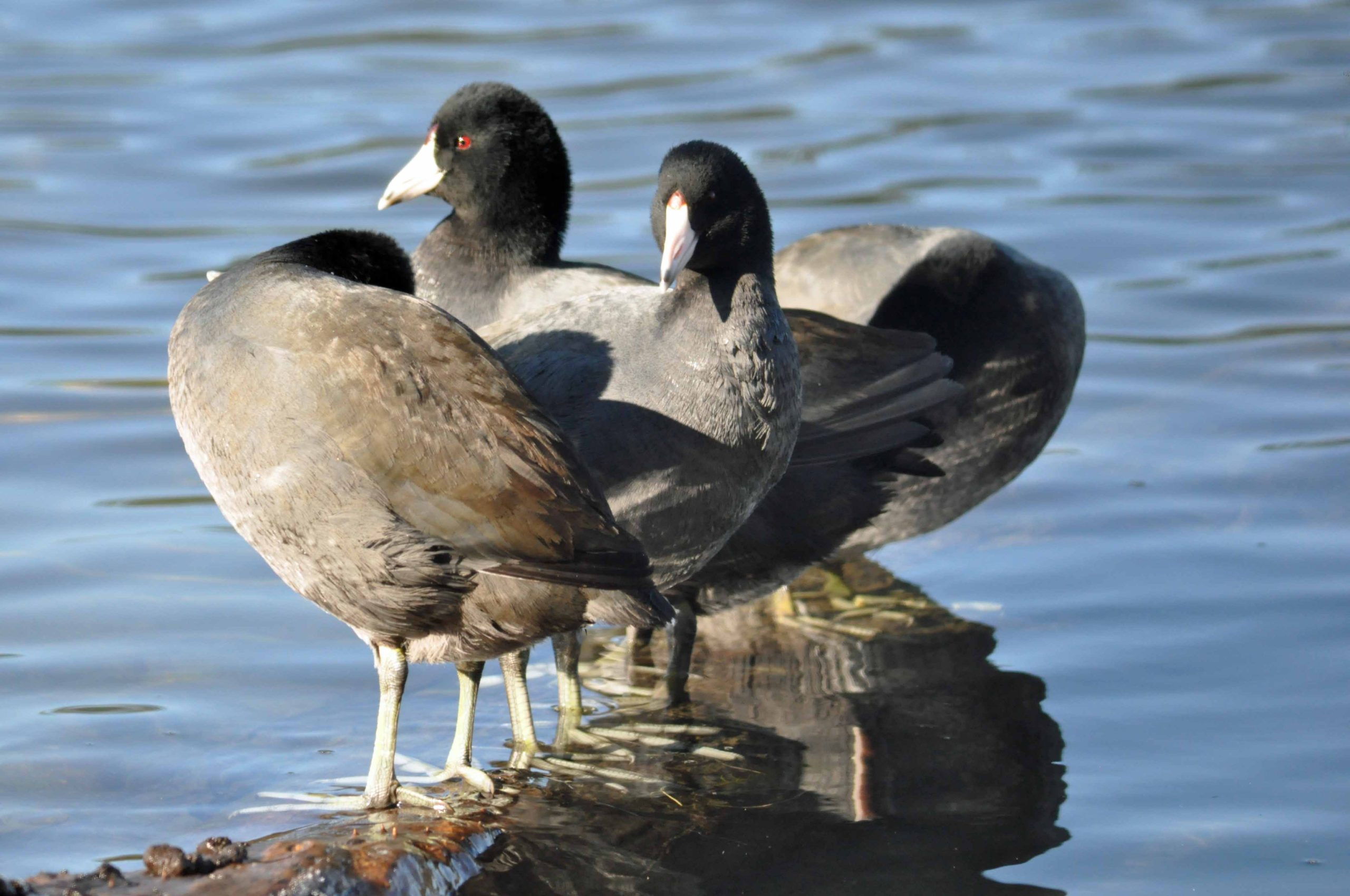 Red eyed coots up close