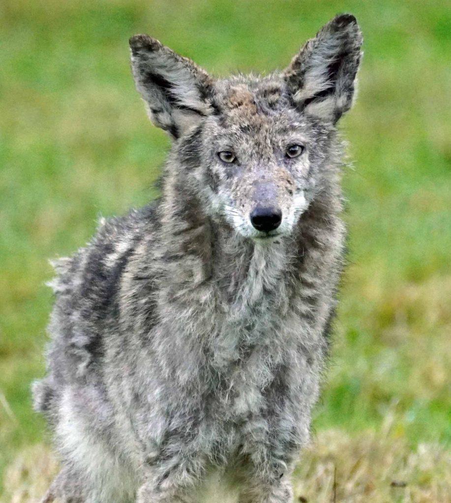 Coyote head on